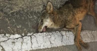 un lupo muore sul ciglio tra Ozzano e Gaiano