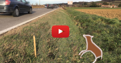 Collecchio sparita la carcassa del lupo travolto sulla Statale tra Ozzano e Gaiano Le sanzioni previste spiegate da Molinari del Parco Nazionale Tosco Emiliano